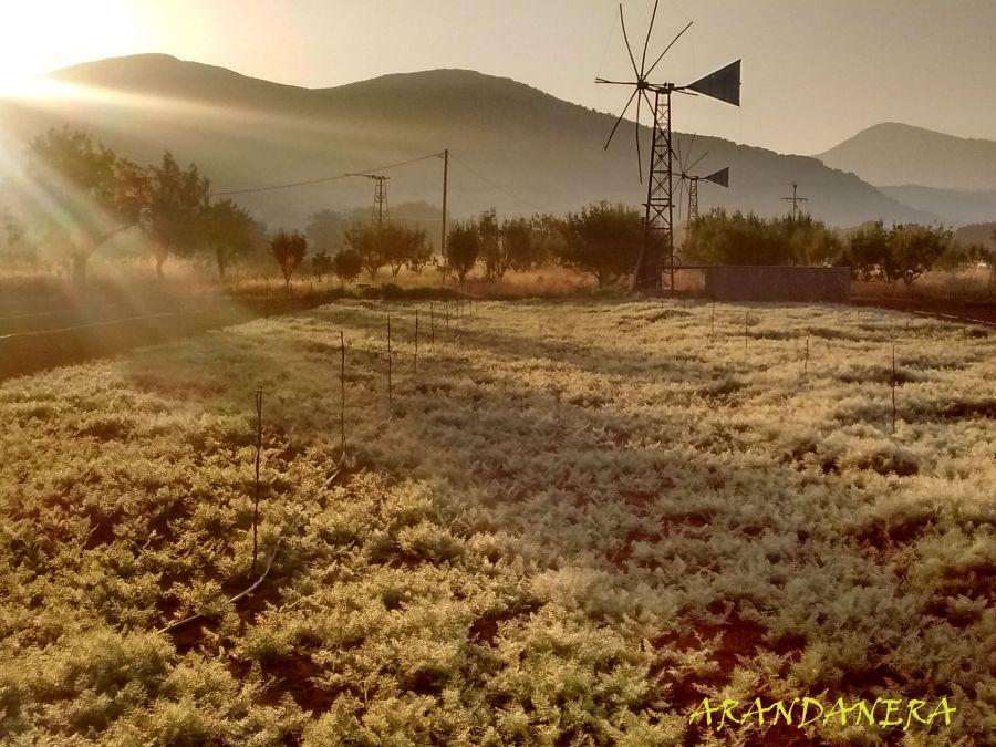 Arandanera